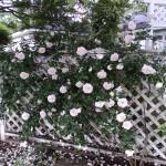 Granny's White Rose